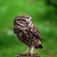 Isobella Owl