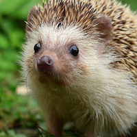 The Hedgehog Knight