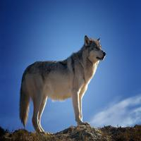 Lola Wolf