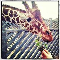 GiraffeCrazed