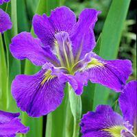 Iris Moondreamer