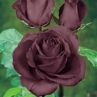 Eleanor-Rose Black