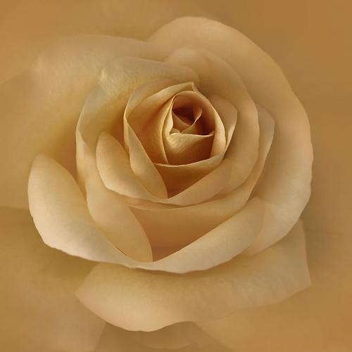 ◦•●◉✿ Golden Roses ✿◉●•◦
