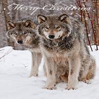 priscilla snow wolf